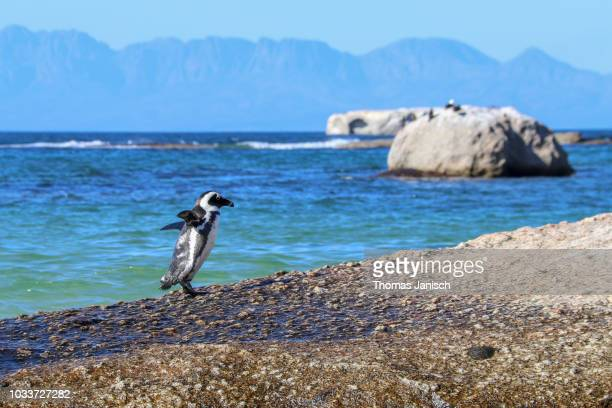 an african penguin on a granit rock at boulders beach, simon's town - african penguin stock pictures, royalty-free photos & images
