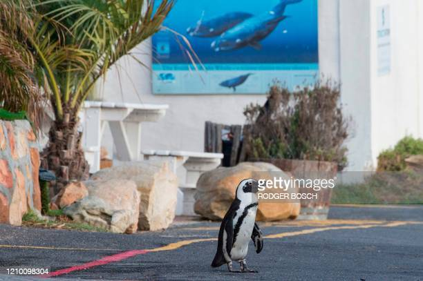 An African Penguin walks in the parking lot of an empty restaurant close to popular Boulders Beach in Simonstown on April 14 in Cape Town This beach...
