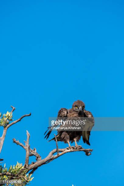 an african snake eagle perched on a tree top in the plains of africa inside masai mara national reserve during a wildlife safari - perching stock pictures, royalty-free photos & images