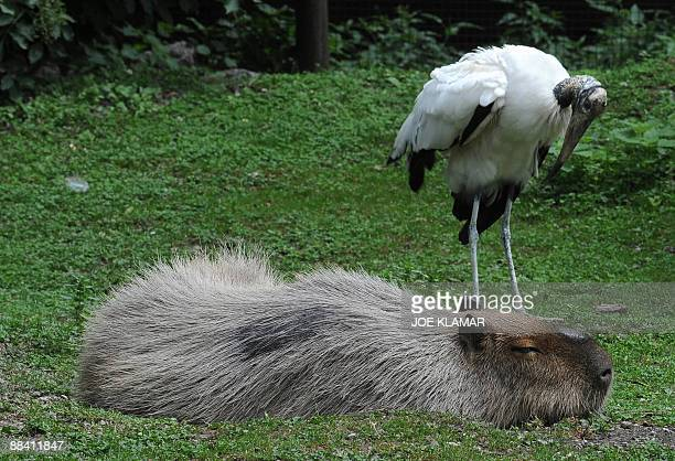 An African stork and a capybara are seen at Schonbrunn zoo in Vienna on June 10 2009 Schonbrunn zoo presents an ecological project called 'Trouble in...