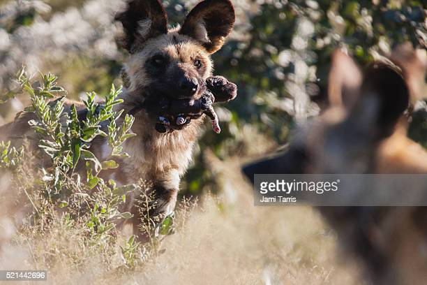 An African wild dog moving a new-born pup from the den