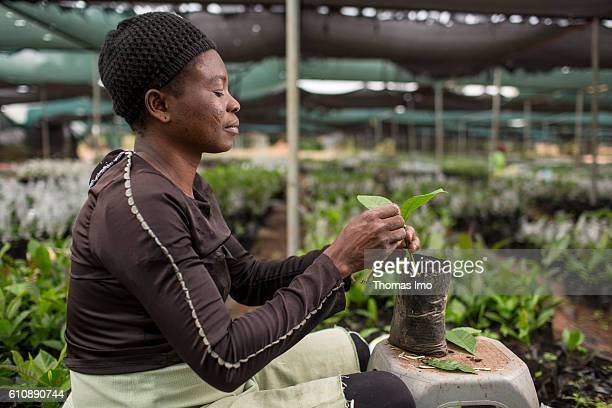 An African worker refines cashew plants in the Cashew Research Station in Wenchi on September 06 2016 in Wenchi Ghana