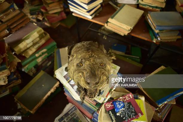 An ageing stuffed lion's head sits on a pile of literature and news papers some of which are antique strewn on the floor at the colonialera McMillan...