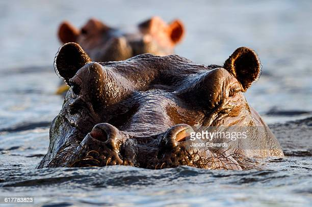 An aggressive Nile Hippopotamus surfaces in a river to challenge its territory.