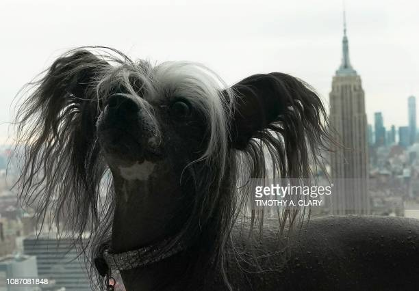 TOPSHOT An Agility Demonstration Competitor a Chinese Crested poses for photos on the Top of the Rock Observation Deck January 23 2019 in New York...