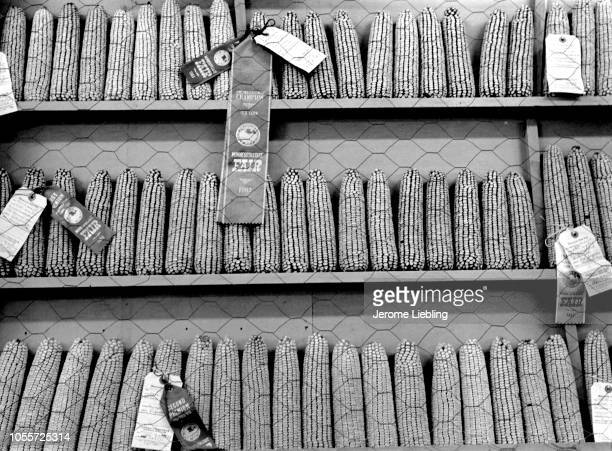An agricultural competition display at the Minnesota State Fair shows dozens of ears of corn lined up in rows with award ribbons for champion first...