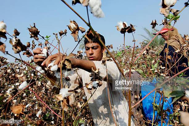 An agricultural employee picks cotton from a plant in Benha Egypt on Tuesday Sept 21 2010 Cotton rose in New York extending a rally to a 15year high...