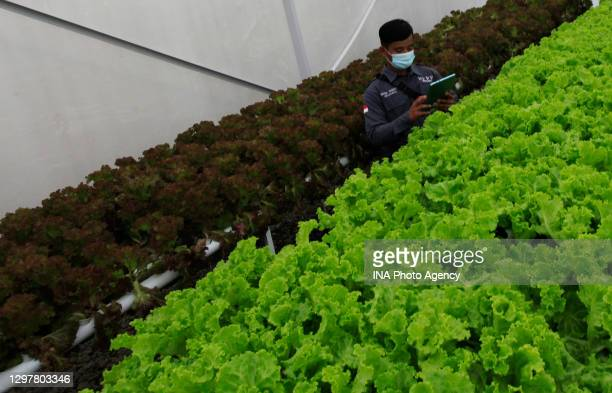 An agricultural student during monitors vegetable growth using modern agricultural technology on his device in Smart Green House in Bogor, West Java,...