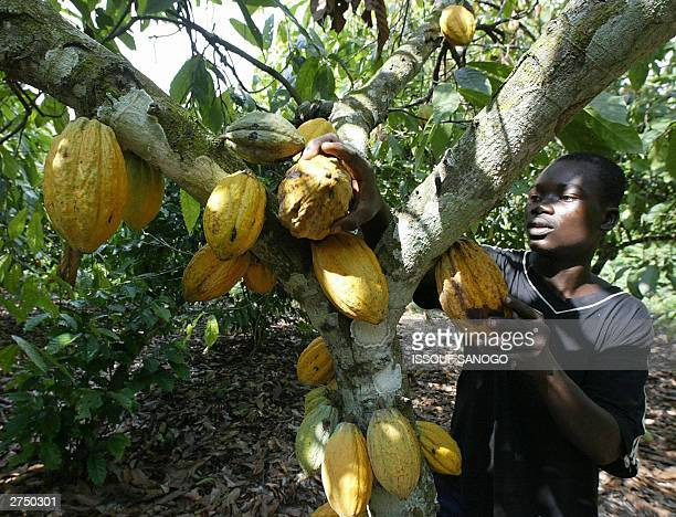 An agricultural worker picks cocoa pods 18 November 2003 in Akati a small Ivorian village where a profitable black market is fetching 625 FCFA across...