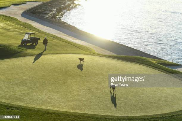 An agronomy staff members dogs run along side his cart on the 18th hole during the first round of the ATT Pebble Beach ProAm at Pebble Beach Golf...
