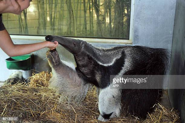 An aid strokes eight-year-old giant anteater, Juanita on July 30 few days after its arrival at the Sables-d'Olonne's zoo, western France. AFP PHOTO...