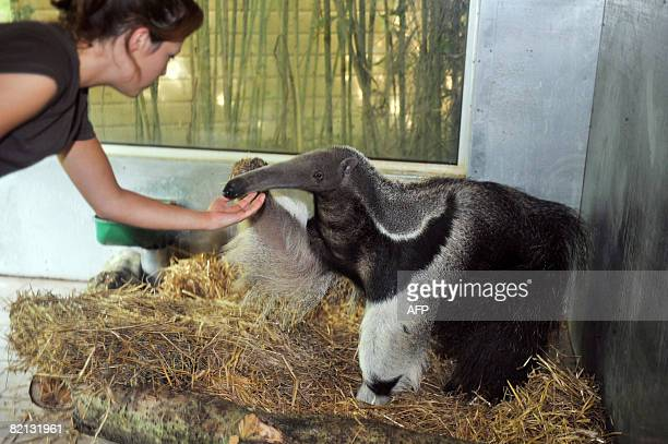 An aide strokes on July 30 Juanita, an eight-year-old giant female anteater, a few days after its arrival at the Sables-d'Olonne's zoo, western...
