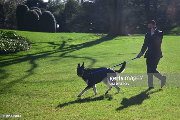 An aide walks the Bidens dog Major on the South Lawn of the White House in Washington, DC, on March 29, 2021. - First dogs Champ and Major Biden are...