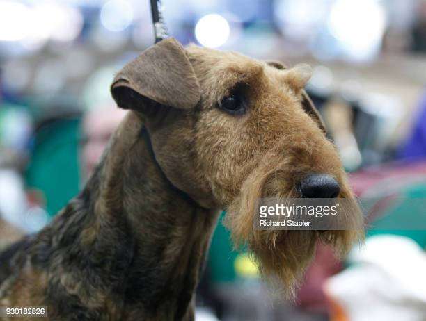 An Airedale Terrier is groomed at the Crufts dog show at the NEC Arena on March 8 2018 in Birmingham England The annual fourday event sees around...