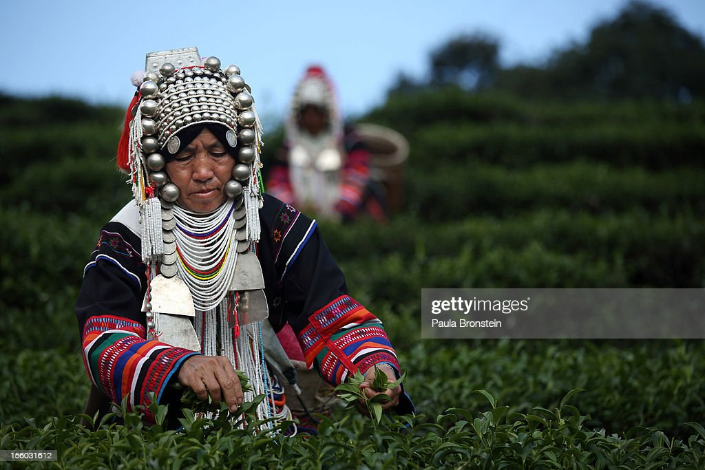 An Akha Hilltribe woman picks Oolong #17 tea leaves during a harvest at the Suwirun Tea farm in the hills outside of Chaing Rai, on November 11, 2012 in Chiang Rai, Thailand. There are around 40 Akha hill tribe workers and 120 Burmese making 300 Bhat a day working on the family run Suwirun Organic tea farm. The farm has been in business around 38 years. The Tea is harvested every 45 days; collecting about 1.5 tons on average per harvest. On special occasions the Akha wear their traditional dress while picking tea. These days it is most commonly worn for tour groups and ceremonies.