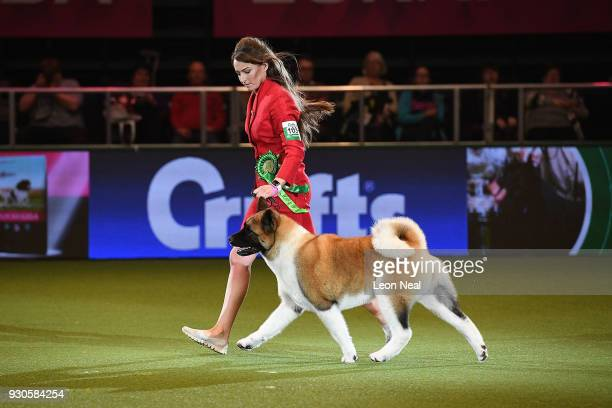 An Akita dog named Chanel and handler handler Faye Bevis enter the ring to be judged for Best In Show on day four of the Cruft's dog show at the NEC...
