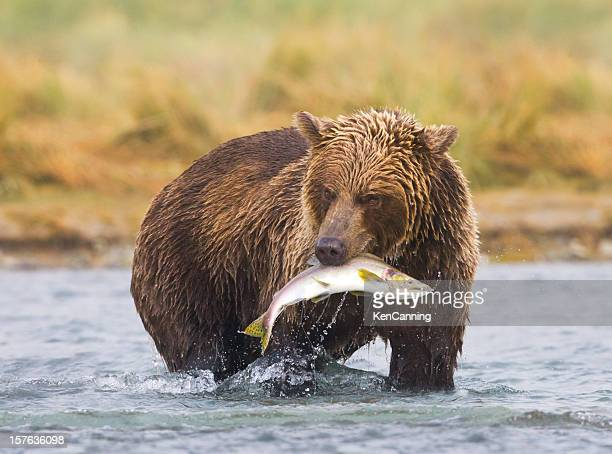 An Alaskan brown bear fishing in a river