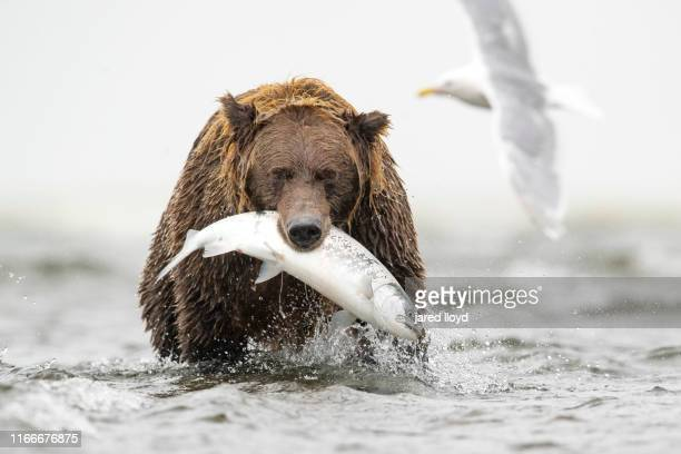 an alaskan brown bear with a large salmon hanging from his mouth - animals hunting stock pictures, royalty-free photos & images
