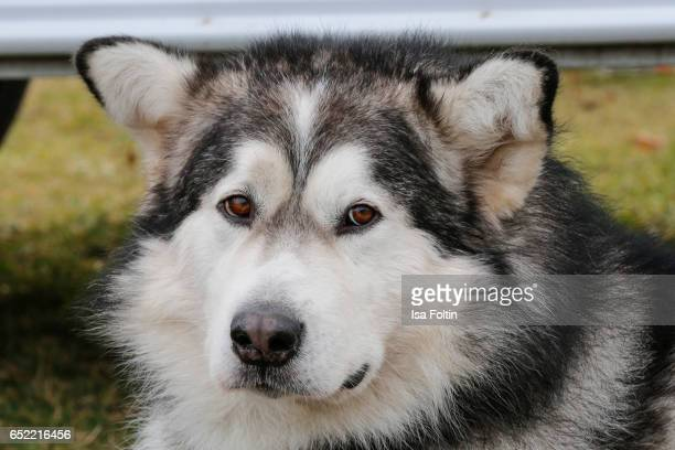 An Alaskan Malamute during the 'Baltic Lights' charity event on March 11 2017 in Heringsdorf Germany Every year German actor Till Demtroder hosts a...