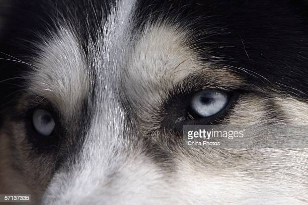 An Alaskan Malamute is seen at a pet market on March 19 2006 in Beijing China According to state media with the country's pet population growing fast...