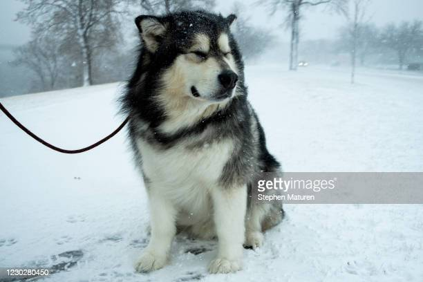 An Alaskan Malamute named Pax walks with his owner Brett Sorenson as snow falls along the Mississippi River on December 23, 2020 in Minneapolis,...