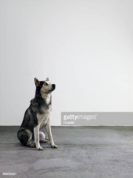 an alaskan malamute - malamute stock pictures, royalty-free photos & images