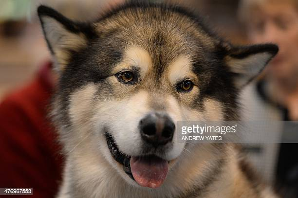 An Alaskan Malamute waits to be judged during the first day of the Crufts dog show on March 6 2014 in Birmingham central England The annual event...
