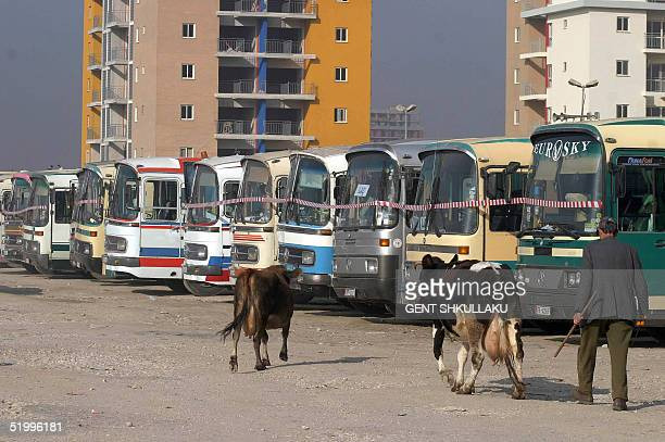 An Albanian man with his cows walks by dozen of parked busses in a square of Tirana during a demonstration, 15 January 2005. Tirana's interlines bus...