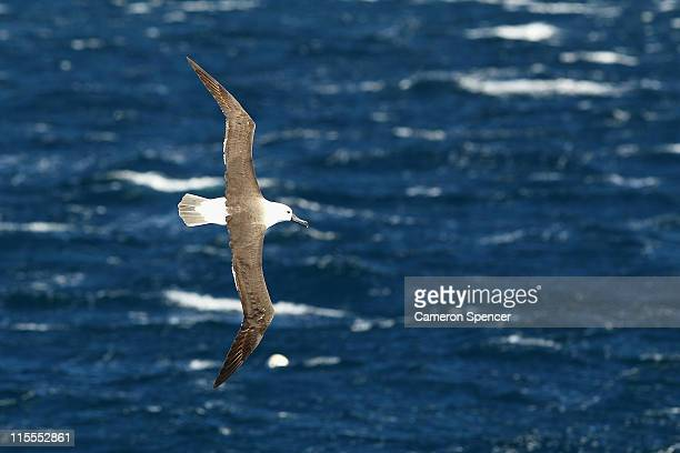 An albatross circles above whales at the beginning of whale watching season during a Manly Whale Watching tour on June 8 2011 in Sydney Australia The...