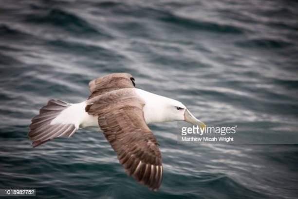 an albatross flies over the seas of stewart island. - albatros stock-fotos und bilder