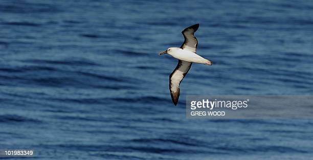 """An Albatross floats over the ocean off the coast near Sydney on June 8, 2010. June 8 marks the United Nations designated """"World Oceans Day"""", a day..."""
