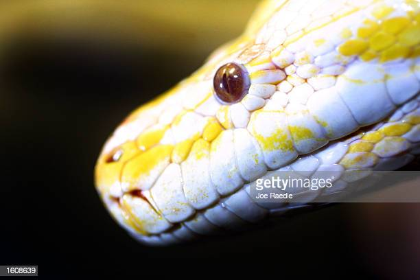 An Albino Burmese Python slithers August 12, 2001 during the third annual Snake Day at the Miami Museum of Science in Miami, FL.