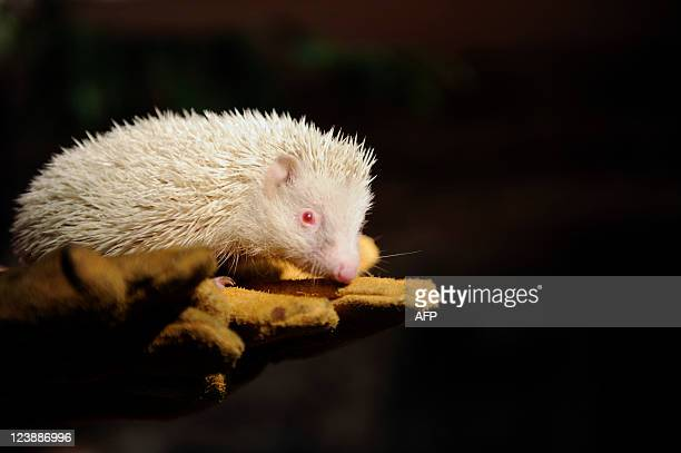 An albino hedgehog sits on a palm of in a Zoo keeper in the Botanical Garden in the Russian Black Sea resort of Sochi on September 5 2001 The...