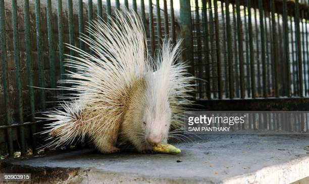 An albino porcupine eats a corn cob in its enclosure at the Kamla Nehru Zoological Garden in Ahmedabad on December 4 2009 The zoo houses some 2000...
