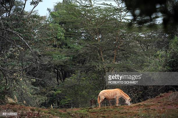 An albino Zebra feeds in Nairobi's National Park on 03 October 2008 Half the world's mammals are declining in population and more than a third...