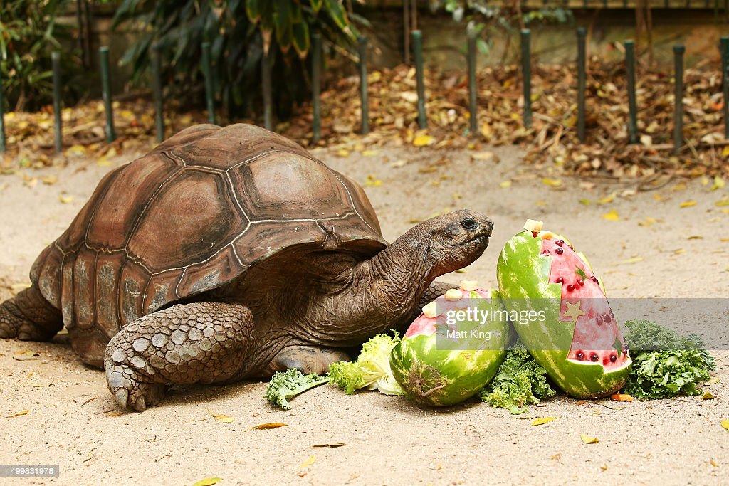 Animals Celebrate Christmas At Taronga Zoo : News Photo