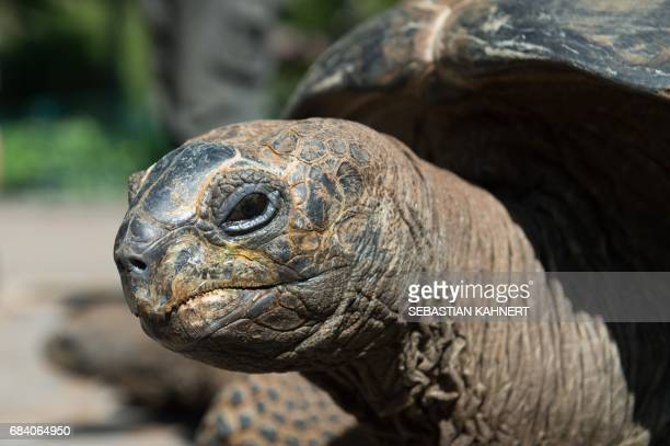An Aldabra giant tortoise leaeves its winter quarters on May 17, 2017 at the zoo in Dresden, eastern Germany. / AFP PHOTO / dpa / Sebastian Kahnert /...
