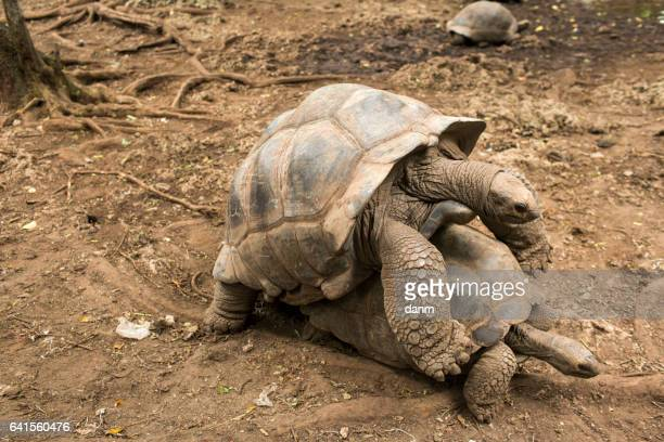 An Aldabra giant tortoise looks out from its shell on Prison Island off Zanzibar, Tanzania.