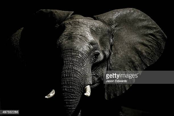An alert African Elephant with its ears spread emerges from the dry season darkness to drink at a waterhole.