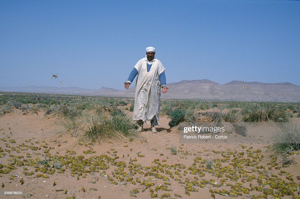 An Algerian man observes a swarm of African locusts in the desert. An invasion of locusts in the Lagahout region of Algeria, and throughout Africa, drastically reduced food production, forcing the government to provide food aid programs and emergency assistance to rural communities.
