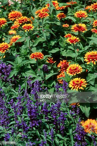 """An All-America Selections Flower Award Winner, a zinnia called """"Zowie! Yellow Flame."""" This Zinnia elegans is the first semi-tall zinnia with a unique..."""