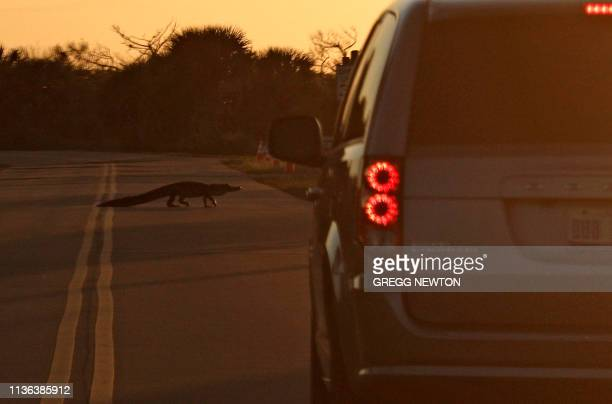 TOPSHOT An alligator crosses a road on Merritt Island at sunset near the Kennedy Space Center in Florida on April 10 2019