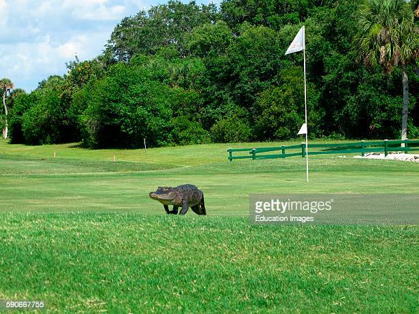 An alligator crosses the putting green at the East Venice golf course in East Venice Florida