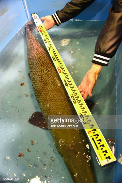 An alligator gar captured in the outer moat of Nagoya Castle on May 17 is 14 meters long and weighs more than 30 kilograms on May 17 2017 in Nagoya...