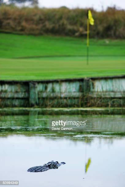 An alligator in the pond beside the par 3 17th hole on The Ocean Course at Kiawah Island, on November 18 in Kiawah Island, South Carolina, USA.