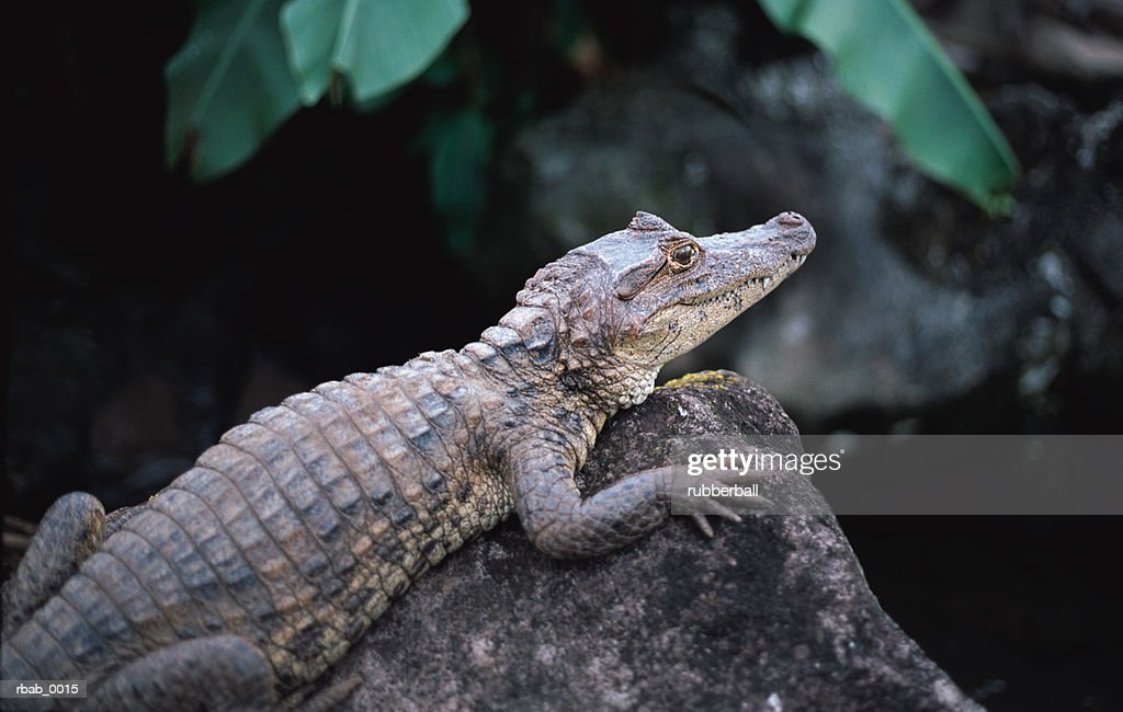 an alligator is resting on a rock in costa rica : Stockfoto