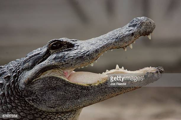 An alligator is seen at the Gator Park in the Florida Everglades May 17 2006 in MiamiDade County There has been a record three deaths attributed to...
