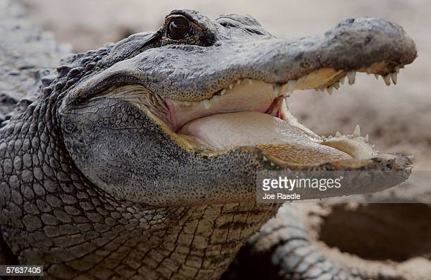 An alligator is seen at the Gator Park in the Florida Everglades May 17, 2006 in Miami-Dade County. There has been a record three deaths attributed...