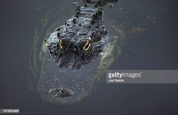 An alligator is seen in the water as Secretary of the Interior Sally Jewell visits the Arthur R Marshall Loxahatchee National Wildlife Refuge in the...