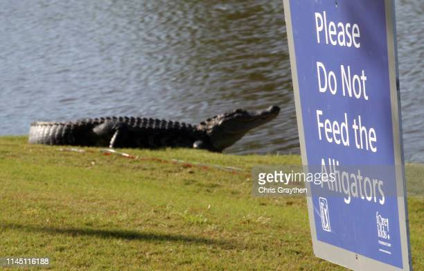 An alligator is seen near the seventh green during the first round of the Zurich Classic at TPC Louisiana on April 25 2019 in Avondale Louisiana